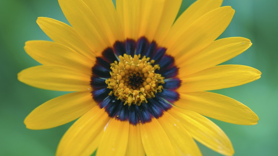Flowers Have Secret Blue Halos That Bumblebees Can See The Atlantic