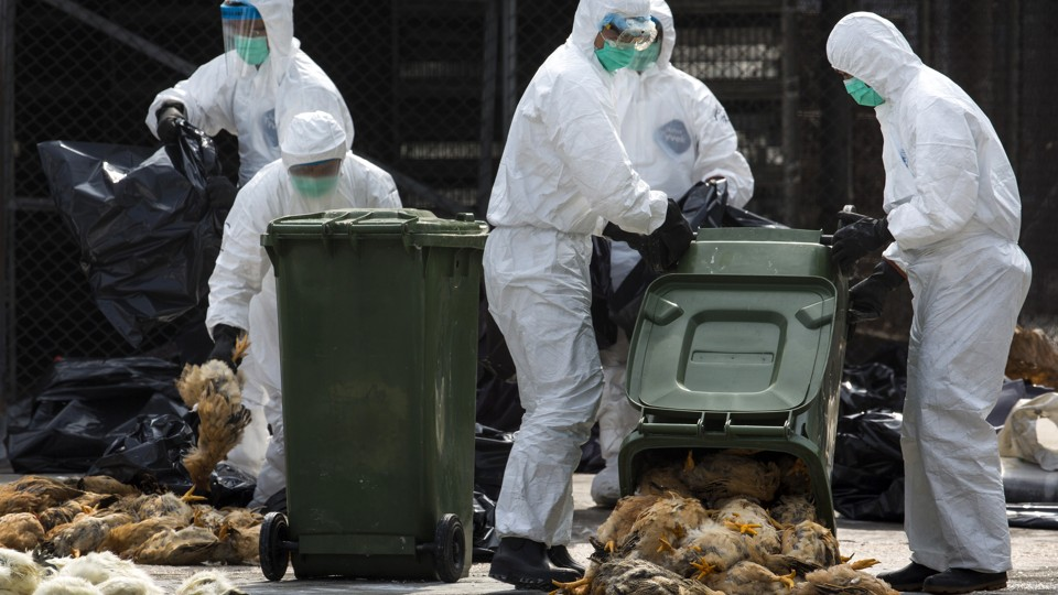 Health workers pack dead chickens into bins at a poultry market.
