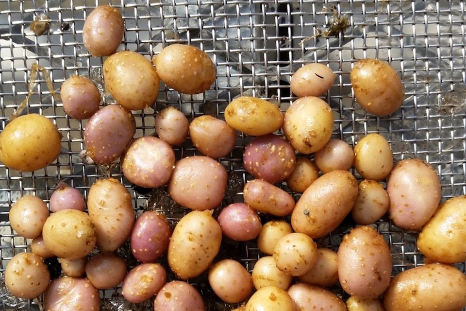 Small wild potatoes on a piece of mesh