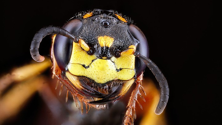 A close-up photograph of the head of a beewolf wasp