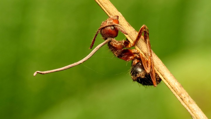 An ant killed by Ophiocordyceps.