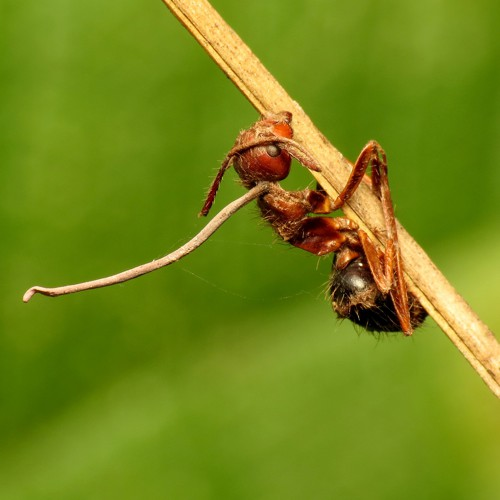 The Zombie Fungus Takes Over Ants' Bodies to Control Their
