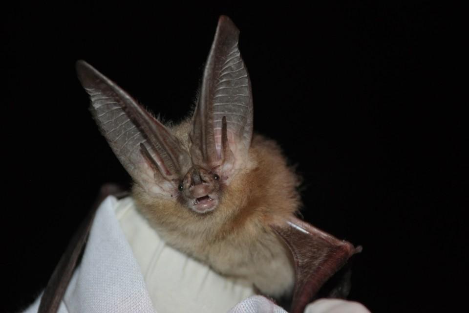 A Townsend's big-eared bat