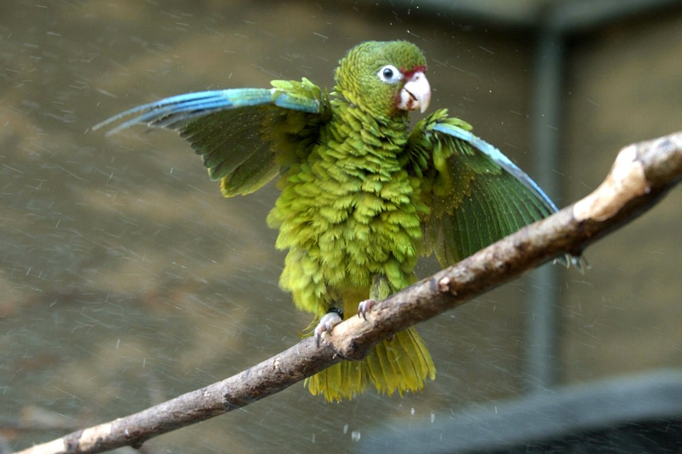 A Puerto Rican parrot fluffs out its feathers and wings.