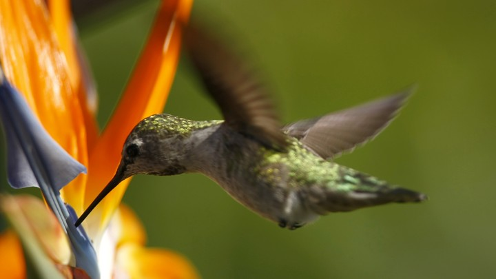 A hummingbird feeds from a flower