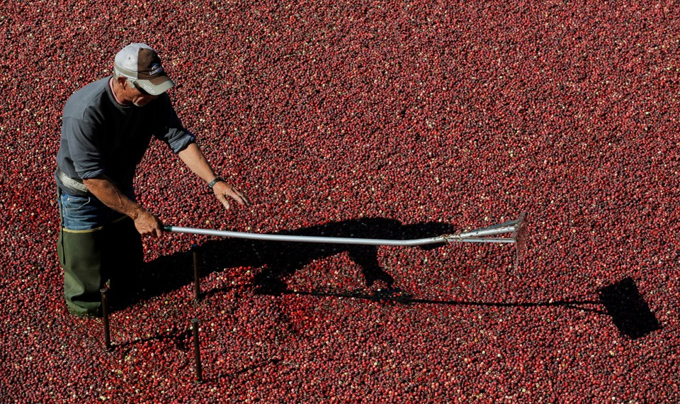 A man uses a harvest implement while standing in a cranberry bog.