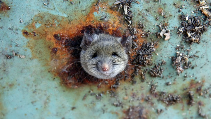 A rat pokes its head out of a hole in a rusted trash can