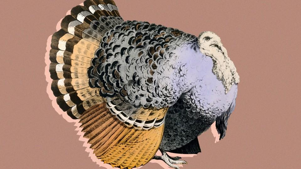 A very fat turkey