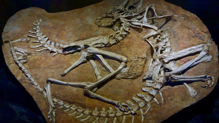 Fossils of two Ornithomimidae dinosaurs