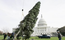 Workers try to stand up the Capitol Christmas tree in 2006.