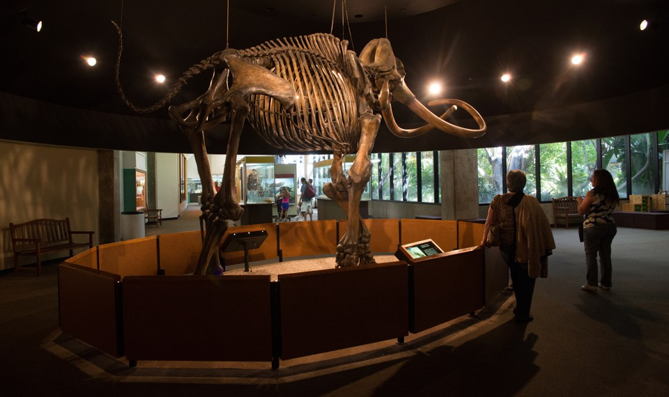 A Columbian mammoth on display at the Page Museum in Los Angeles