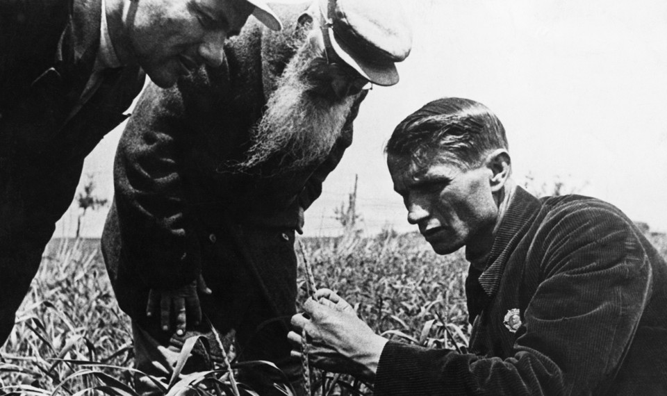 Trofim Lysenko measures the growth of wheat in a field while two men watch.