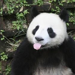 A panda sticking its tongue out
