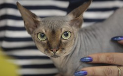 A hairless cat held by a person with bright blue nail polish