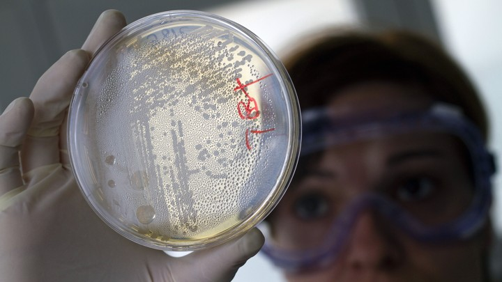 A lab worker holds up a petri dish containing strains of E. coli bacteria.