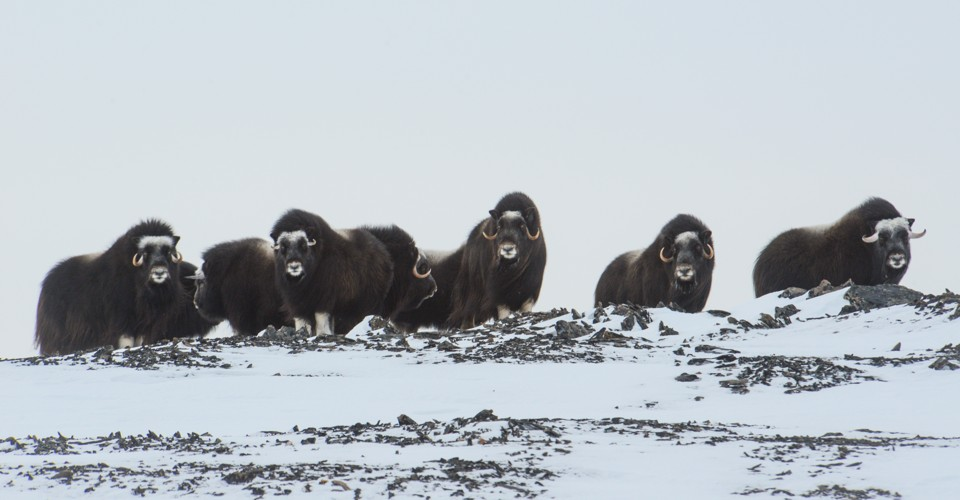 The 'Ice Tsunami' That Buried a Whole Herd of Weird Arctic Mammals