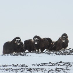 A herd of musk ox