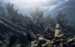 Bleached corals underwater