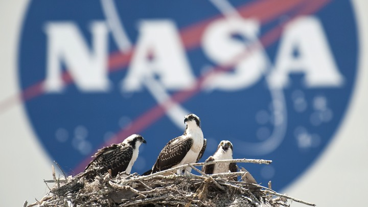 Ospreys in a nest in front of a NASA logo