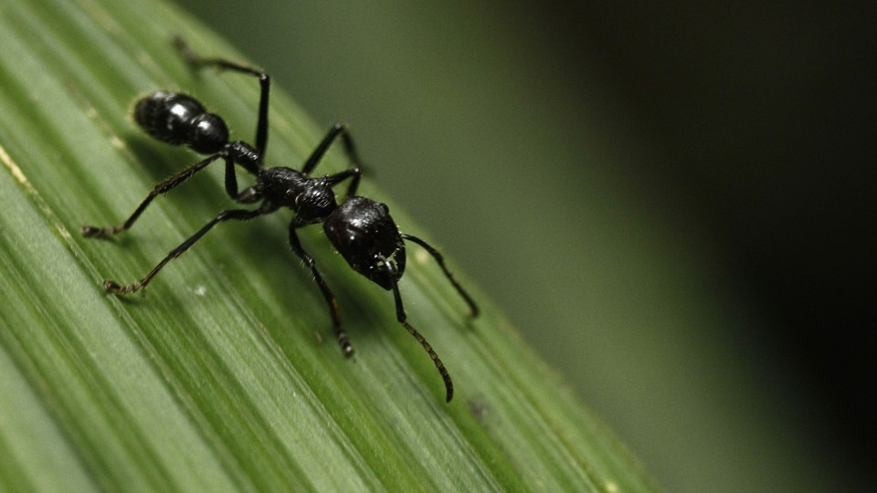 A bullet ant on a leaf