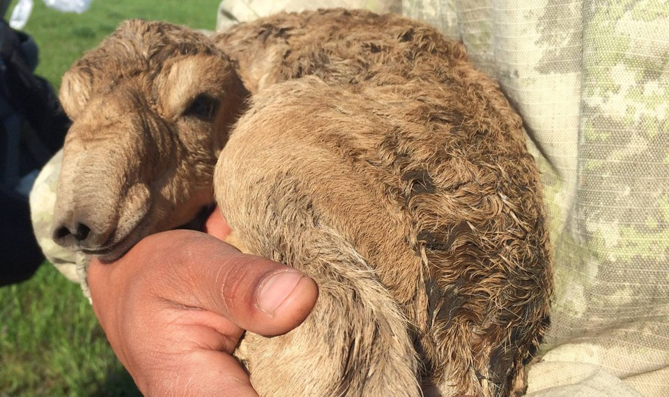 A newborn saiga calf