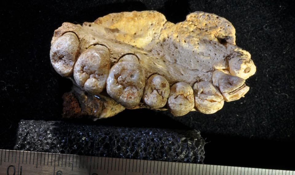 A fossilized human jawbone with teeth