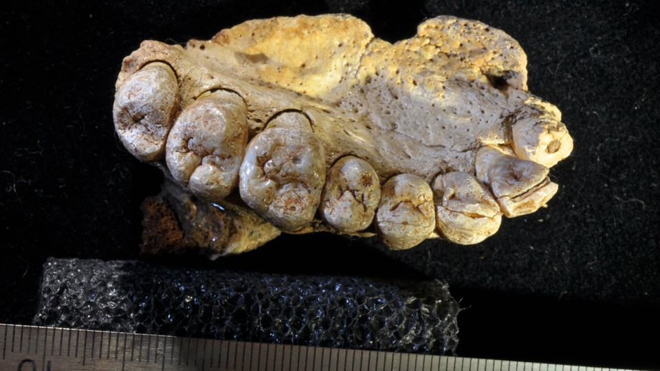 A fossilized human jawbone with teeth
