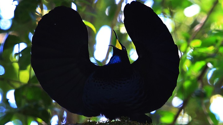 A paradise riflebird with its wings spread and head raised