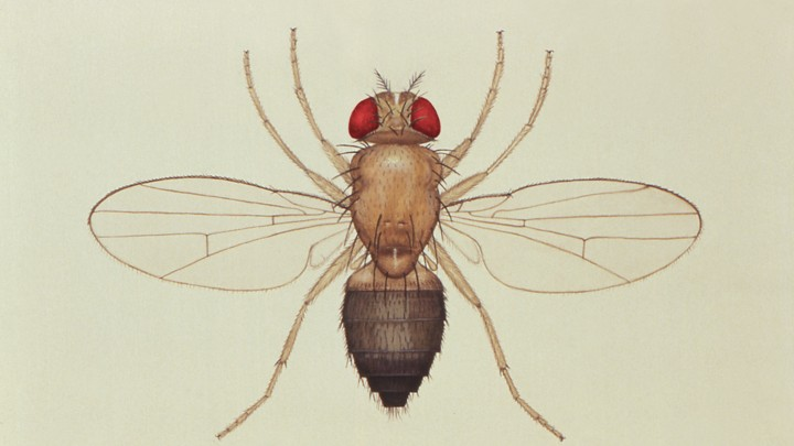 Fruit Flies And Their Importance In Genetics Research