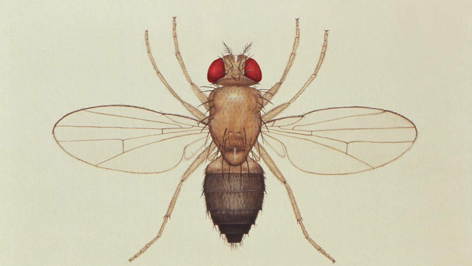 A drawing of the common fruit fly