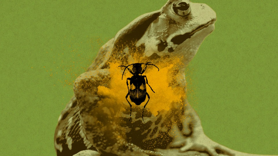 A bombardier beetle inside a toad