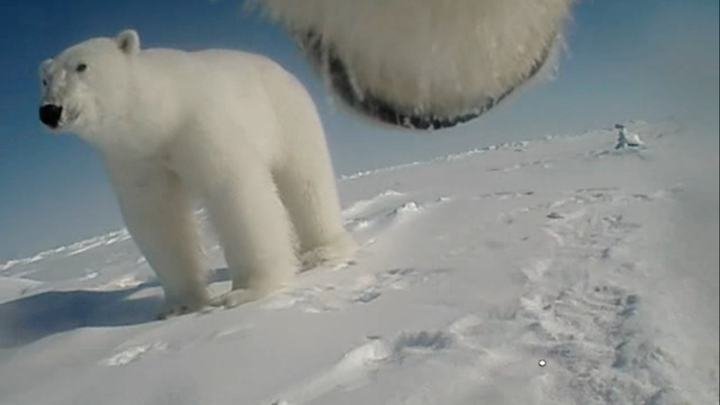 A GoPro photograph of one polar bear standing on snow and the underside of another polar bear's snout