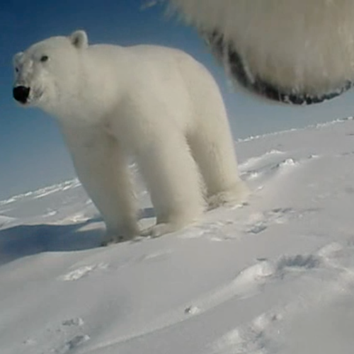 8a5b63d3b4 Scientists Strapped a Camera to a Polar Bear: Here's What They Learned -  The Atlantic