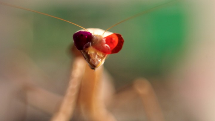 A mantis with 3-D glasses