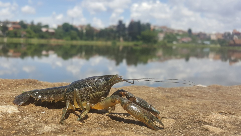A marbled crayfish posed by a lake