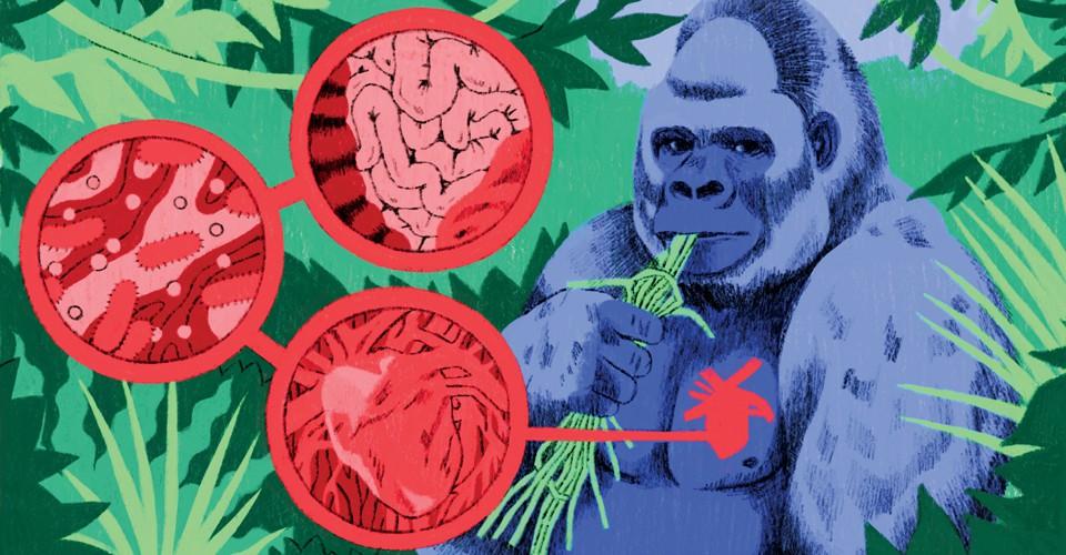 Something Mysterious Is Killing Captive Gorillas The Atlantic