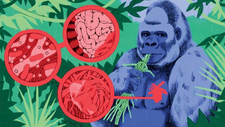 Something Mysterious Is Killing Captive Gorillas - The Atlantic