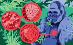 An illustration of a silverback gorilla eating green stems, with a red circle over the left side of his chest, against a background of green jungle plants and images of a heart, intestines, and cells