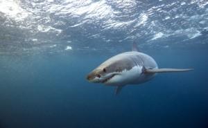 Great White Sharks Flee From Killer Whales - The Atlantic