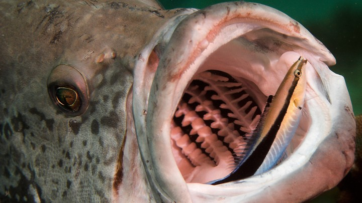 A cleaner wrasse cleans out the mouth of a cod