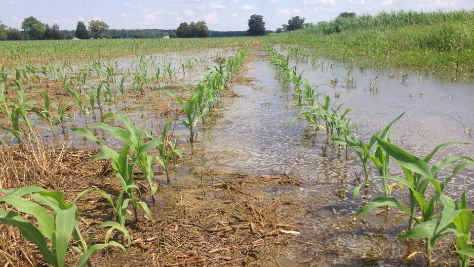 A flooded field of corn sprouts