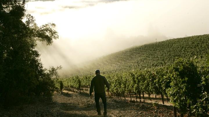 A silhouetted man walks toward a vineyard in fog