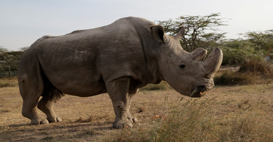 The Death of the Last Male Northern White Rhino Won't Change Its Fate