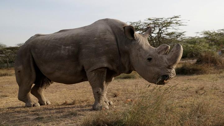 Sudan the rhino, now deceased