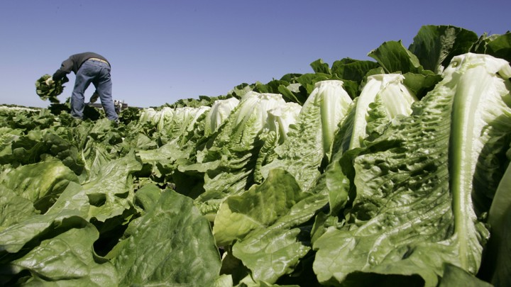 A field of lettuce