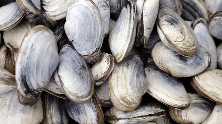 Soft-shell clams