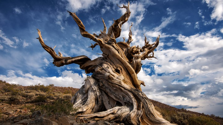 A twisted bristlecone pine against a blue sky