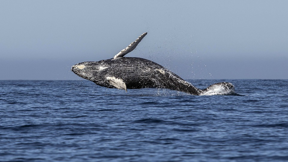 a humpback whale jumps out of the ocean - Images Of Whales