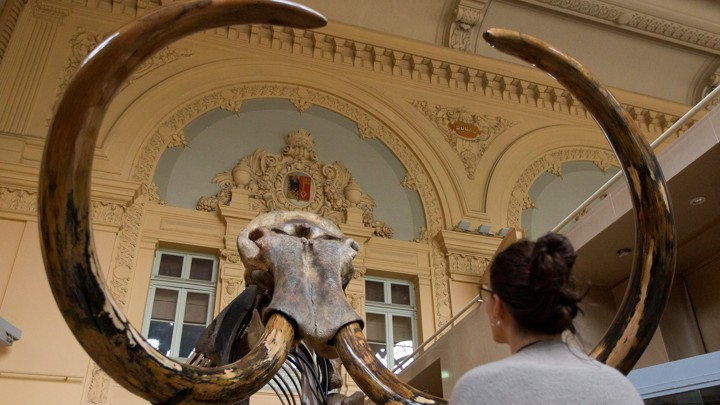 A woman looks at a mammoth skeleton