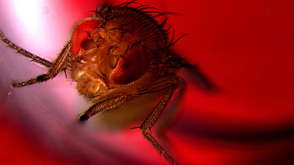 A male fruit fly under red light
